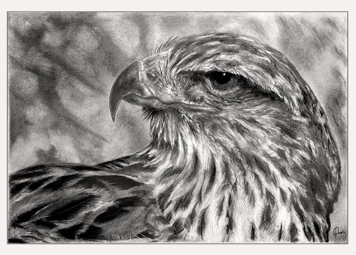 Hawk gaze pencil drawing work in progress college of art and